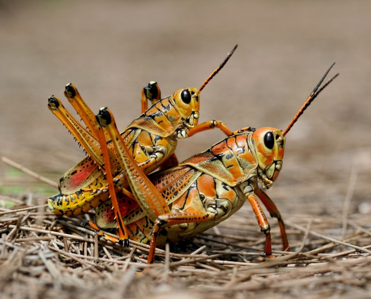 Adult lubber grasshoppers mating
